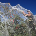 WWOOF picker under netting